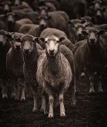 sheep_sheep
